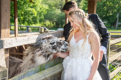 Bride and groom meeting alpaca at wedding at Claxton Farm in Weaverville, near Asheville, NC