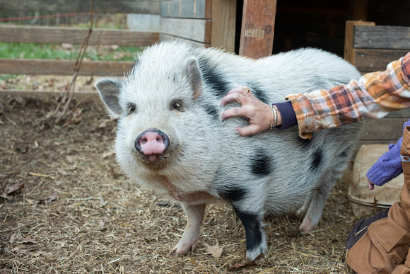 Mini pig being pet my Mommy in Asheville photography