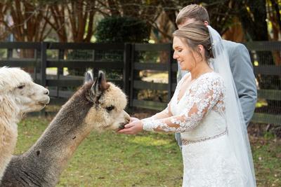 Bride feeds alpacas at Hawkesdene wedding near Asheville